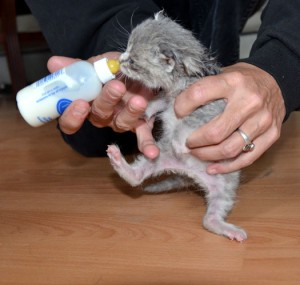 Lenny gets bottle fed after being rescued from a brush pile