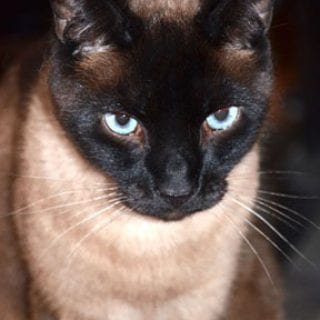 The Siamese kitty Linus