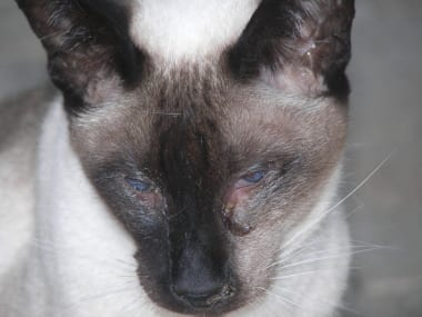 What Is The Symptoms Of Cat Flu In Dogs