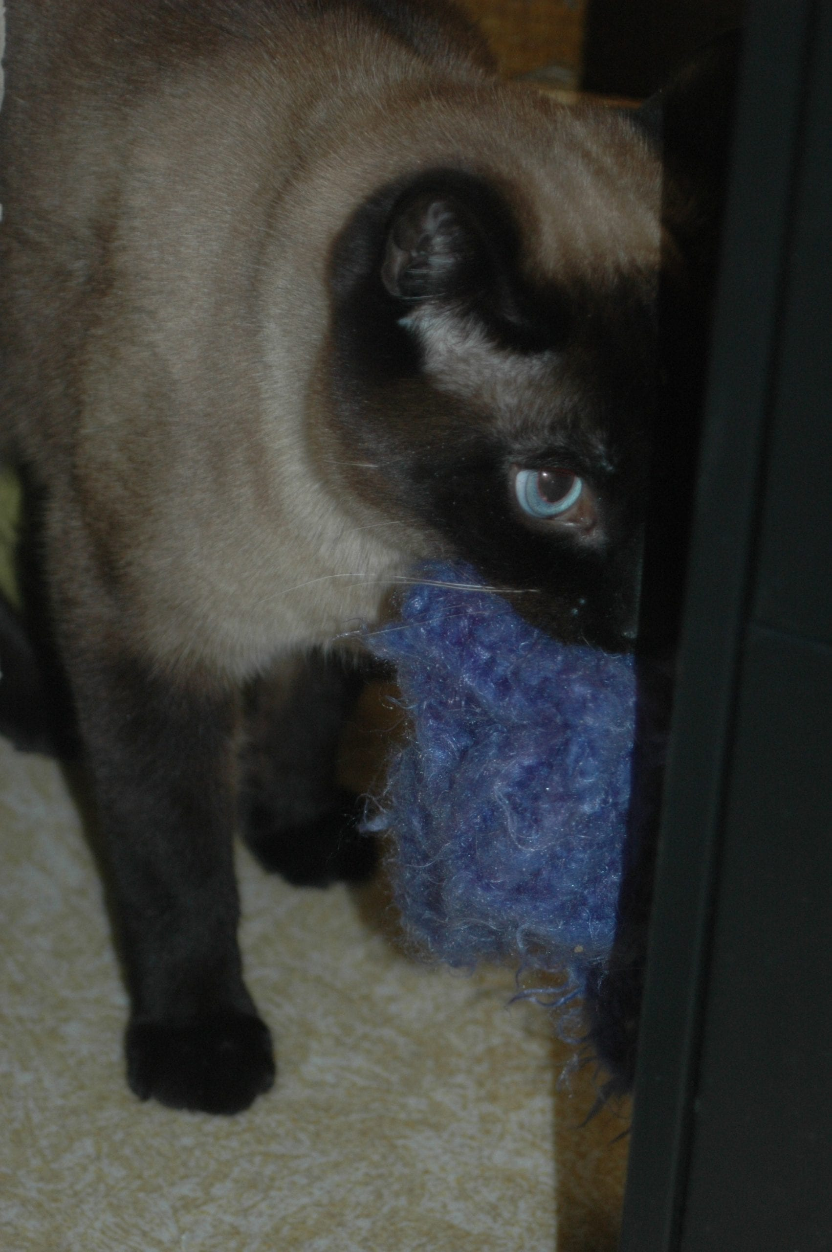 Siamese with a hat toy