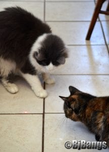Feral cats chase laser