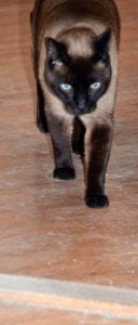 Siamese Linus walks away to safety of living room after shed collapses