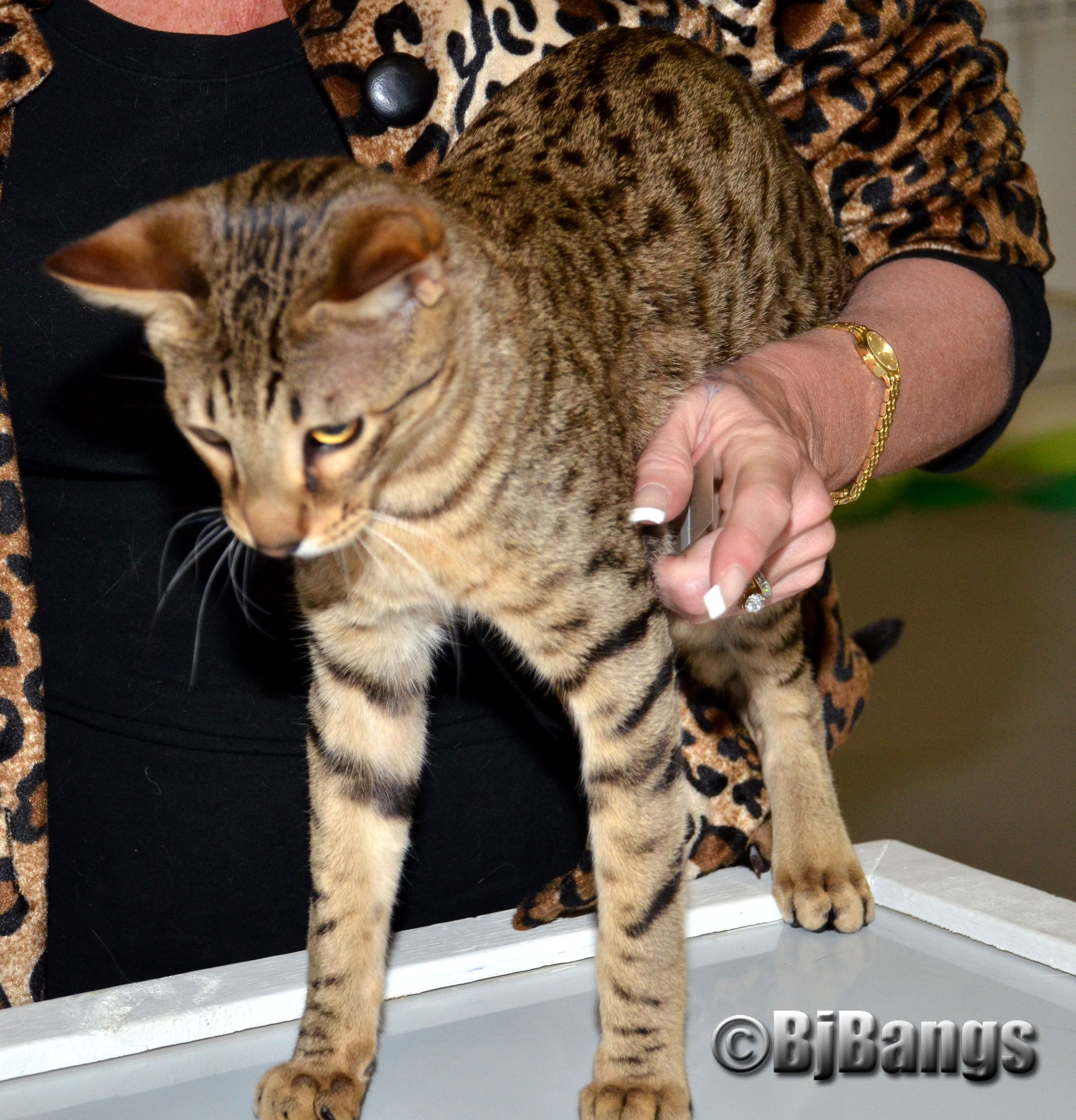 Savannah cats look exotic but they're not wild cats - Paws