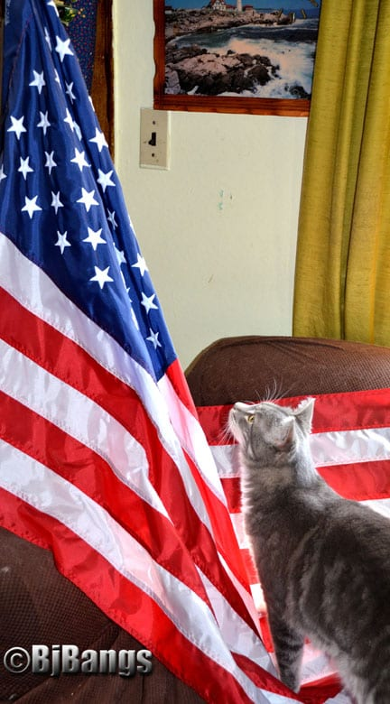 The cat Lenny gives reverence to the flag of the USA on Flag Day