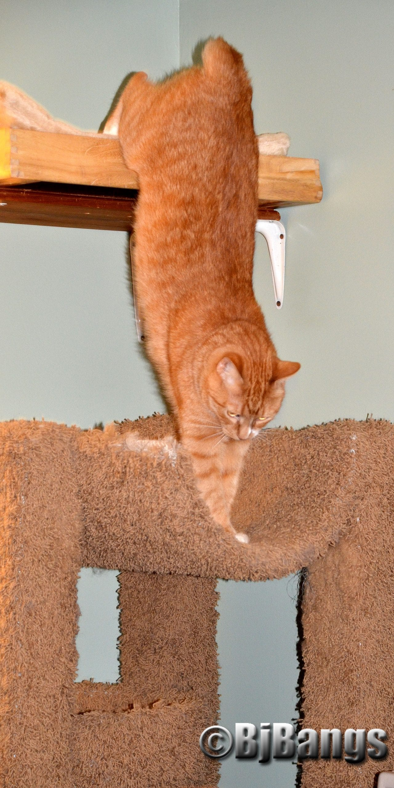 Cat says, Time to get down to the kitty bed, a little closer to my kitty friends.