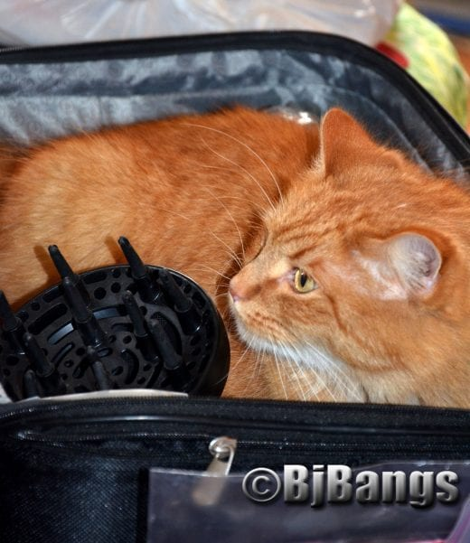 Kitty fits in snugly in suitcase right next to the hairdryer.