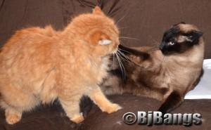 Cat wrestler gets head lock.