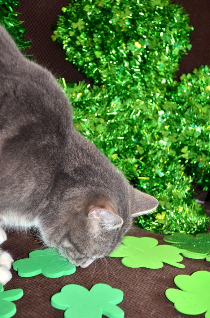 Cat Lenny wants to play with St. Patrick's Day Shamrocks.