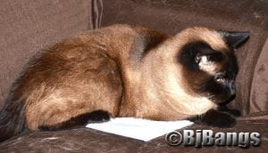 Siamese Cat Linus safeguards his mom's tax forms by laying on them