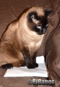 Siamese Cat Linus keeps this tablet with his mom's tax notes safe.