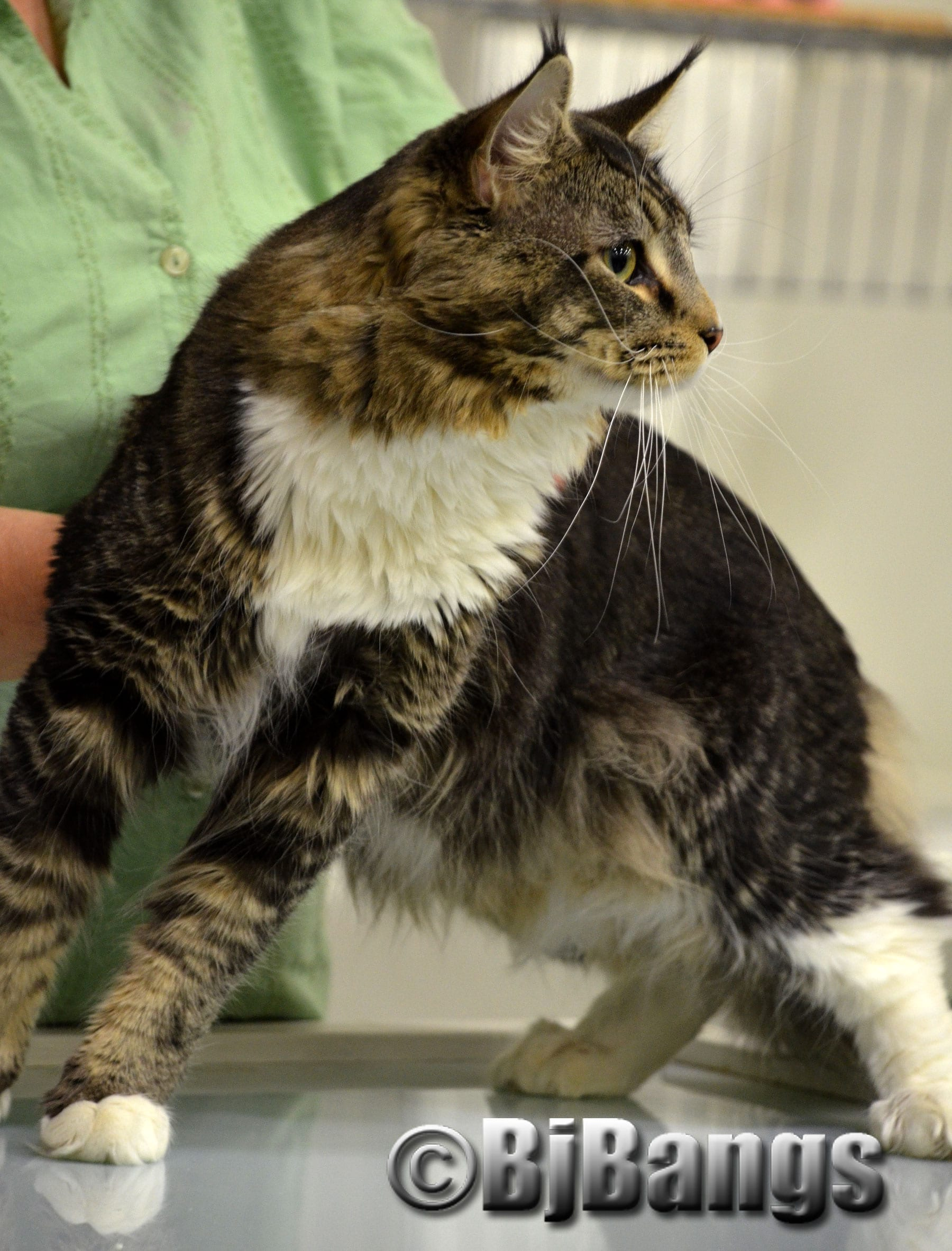 Maine coon cats for adoption near me – Popular breeds of cats