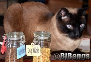 Siamese Cat Linus ready to check out the new Hill's Ideal Balance Crafted treats