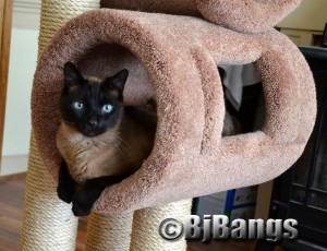 Siamese Cat Linus enjoys his new cat tree.