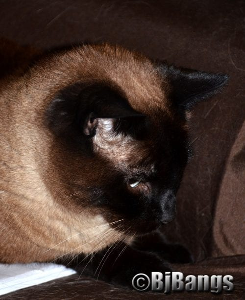 This handsome Siamese at is taking it easy so he can watch the Summer Olympics in Prime Time all week.