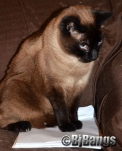 Siamese Cats  are absolutely handsome