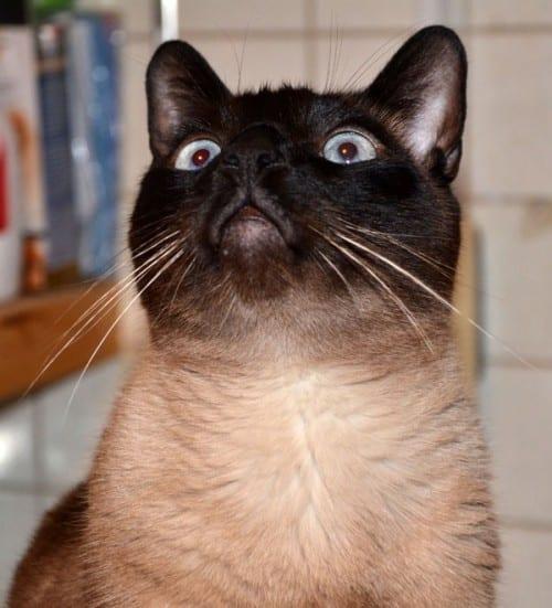 I'm a happy Siamese Cat