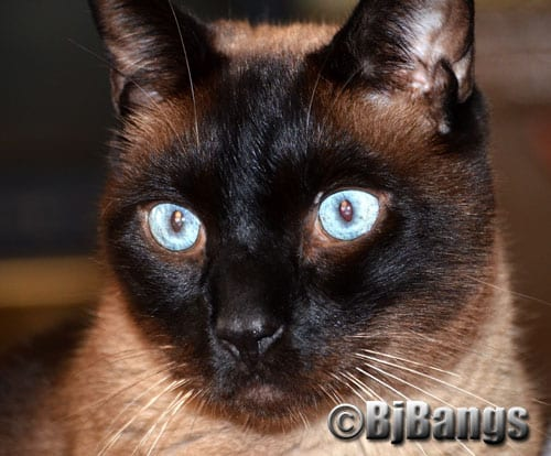 Sunday Selfie: Check out those steel-blue Siamese eyes.