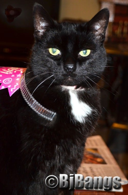 Cat Pink Collar celebrates New Year's 2016 in style.