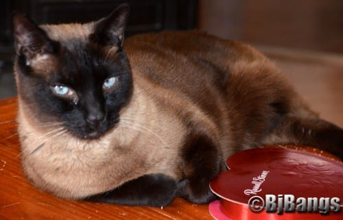 Siamese Cat Linus knows he's extra special, and he just laps up the extra attention on Valentine's Day