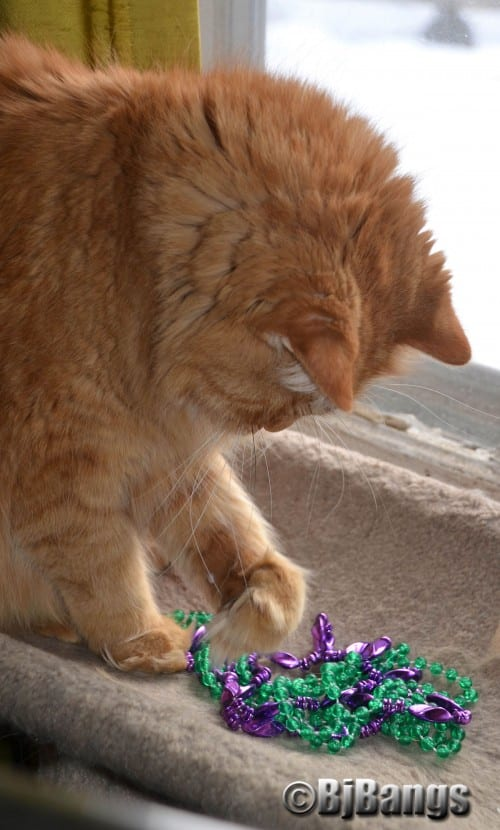 Paws' Little Yellow Cat is having a blast playing with these Mardi Gras beads, one his human has kept around a few years