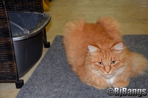Litter box issues unique for long-haired cats