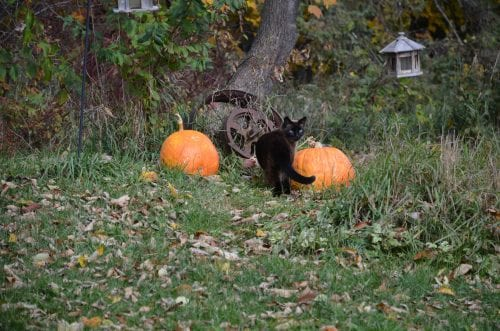 Cat checks out pumpkin