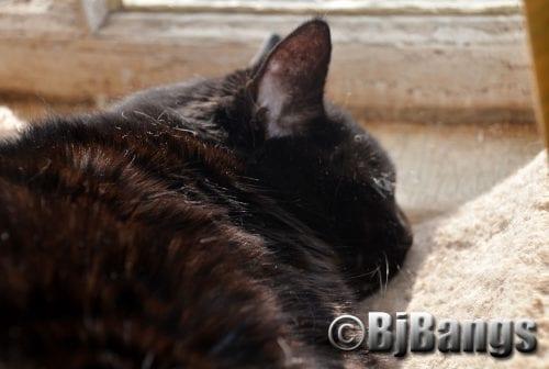 Feline arthritis, a silent epidemic