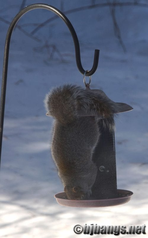 Squirrel dives into bird feeder keeping kitties from getting bored.